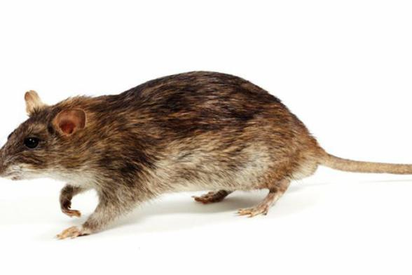 MAN DRIVEN FROM HIS HOME BY RATS